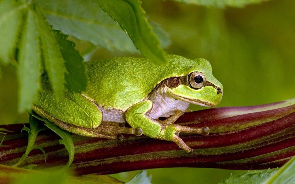 rainette verte agrippée à une tige