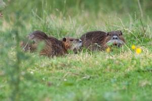 Famille de ragondins dans le Marais Poitevin
