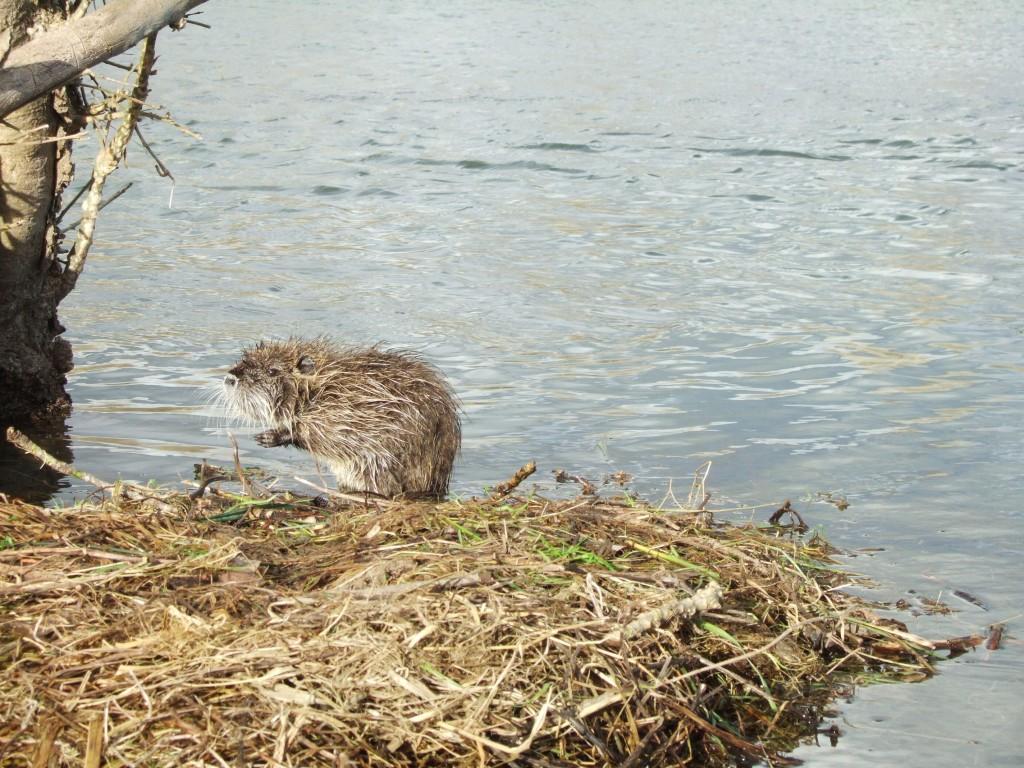 Nid flottant de ragondins dans le Marais Poitevin