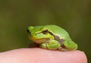 rainette verte sur doigt