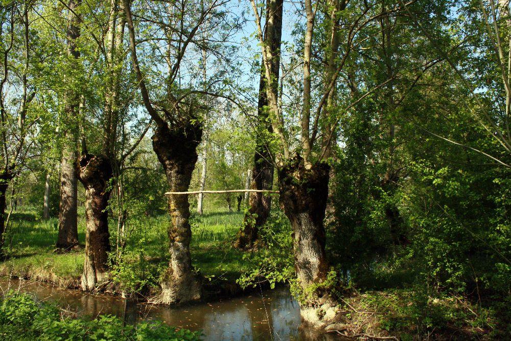 Rangée de frênes têtards dans le Marais Poitevin
