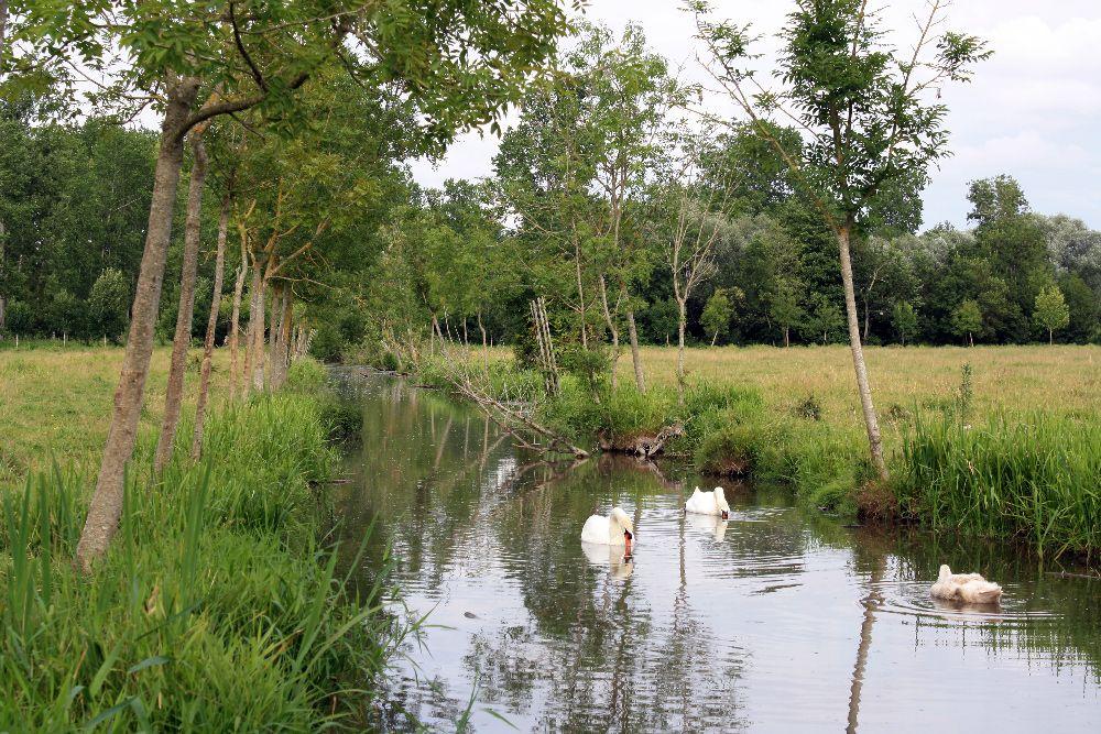 Alignement de jeunes frênes dans le Marais Poitevin