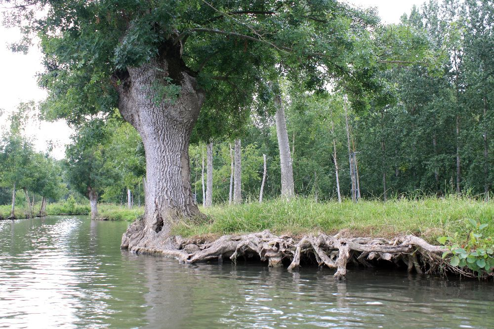 Frêne têtard et son système racinaire hyper développé dans le Marais Poitevin