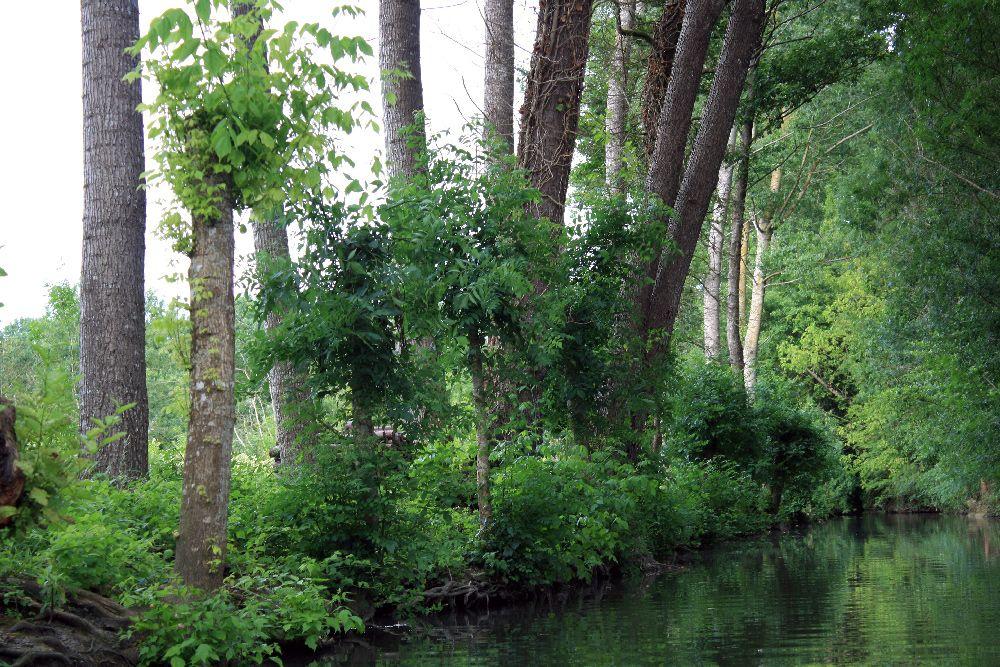 Rangée de frênes têtards et de peupliers dans le Marais Poitevin