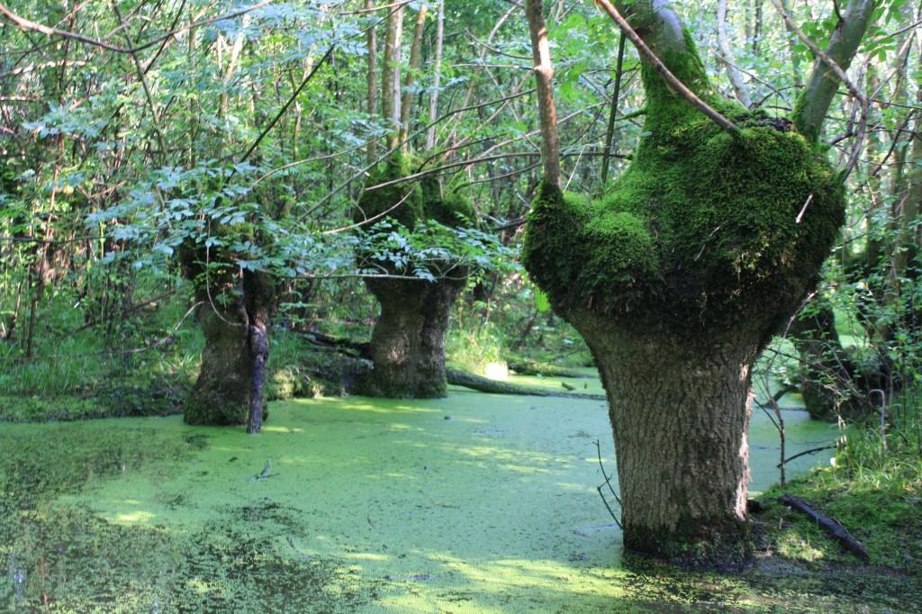 Lentilles d'eau sur un canal du Marais Poitevin