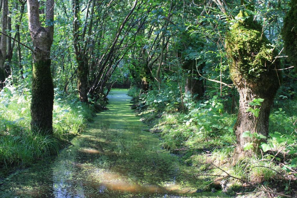Canal plein de lentilles d'eau dans le Marais Poitevin