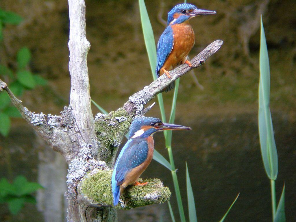 Couple de martins pêcheurs sur une branche