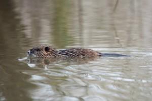 Ragondin qui nage dans le Marais Poitevin